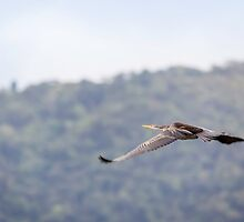 Daintree Darter in Flight by Richard Heath