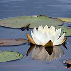 Water Lily and Reflection by ©Linda  Makiej