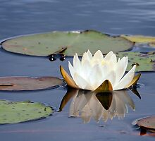 Water Lily and Reflection by Linda  Makiej Photography