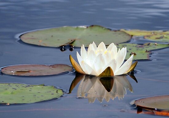 Water Lily and Reflection by Linda  Makiej