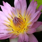 Water Lily by Joy Fitzhorn