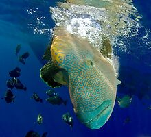 Humphead Wrasse Dive through schooling fish by Fiona Ayerst