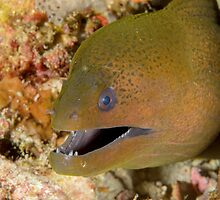 Giant moray - Gymnothorax javanicus by Andrew Trevor-Jones