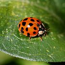 Little Ladybug On Leaf by SmilinEyes