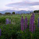 White Mountains - Lupine Season by Sara Bawtinheimer