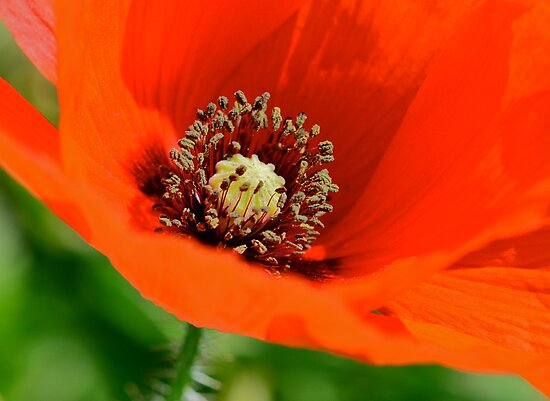 Eye-Popping Poppy! by Ainsley Kellar Creations