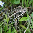 Frog In The Grass by SmilinEyes