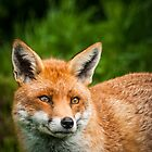 Red Fox by Cara Barron