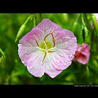 Oenothera Speciosa Rosea - Pink Evening Primroses - Middle Island, New York by © Sophie W. Smith