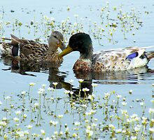 Romantic Ducks by Jo Nijenhuis