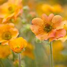gorgeous geum by Teresa Pople