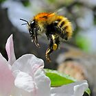 Pollinating Bumblebee by George Crawford