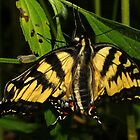Eastern Tiger Swallowtail by Kane Slater
