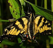 Tiger Swallowtail by Kane Slater