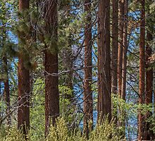 Trees - Lake Tahoe by Richard Thelen