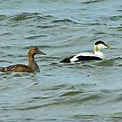 Eider Ducks by Jamie  Green