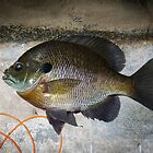 Bluegill by Thomas Young