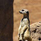 Meerkat Lookout by cthomas888