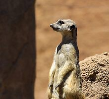 Meerkat Lookout by cthomas888