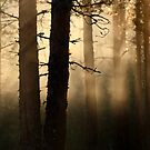 16.6.2013: Summer Morning in Pine Tree Forest by Petri Volanen