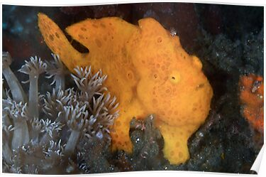 Yellow Painted Frogfish by MattTworkowski