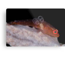 Goby With Parasite Metal Print