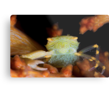 Yellow Porcelain Crab With Eggs Metal Print