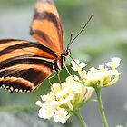 butterfly feeding by Martynb