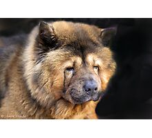 A Greek Chow Chow ...[FEATURED ] Photographic Print