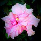 Light Pink Hibiscus by tropicalsamuelv