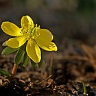 Winter Aconite - March 2013 by cclaude