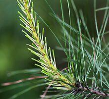 Pine's New Growth by Doug Greenwald