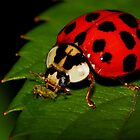 Multicolored Asian Lady Beetle eating Aphid by Kane Slater