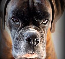 Go Ahead .... Make My Day  ~ Boxer Dog Series ~ by Evita