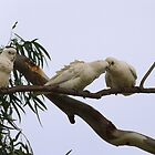 ''JUST A LITTLE KISS!' Little Corella's, Mannum Sth. Australia. by Rita Blom
