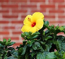 Yellow Hibiscus by Cynthia48