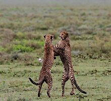 Stand Up Boxing  ( Cheetah -  Acinonyx jubatus raineyii) Southern Serengeti  Tanzania by john  Lenagan