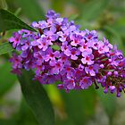 Blooming Butterfly Bush  by Diana Graves Photography
