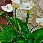 Lovely Calla by Lotus0104
