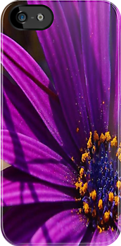 Purple African Daisy Close Up by taiche