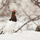 Willow Ptarmigan (Lagopus lagopus) by Marty Samis