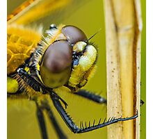Four-spotted Chaser close-up. Photographic Print