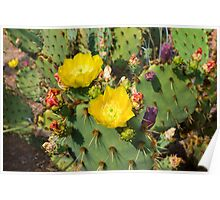 Blooming Cactuses Cactaceae Opuntia Poster