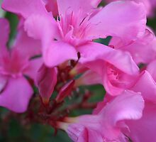 Pink Oleander Flower by taiche