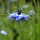 Blue Nigella by lynn carter