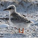 Juvenile Least Tern  by Dennis Cheeseman