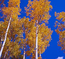 The Aspens of Owl Creek Pass by Alex Cassels