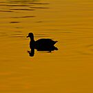 Single duck on a lake by SteveHphotos