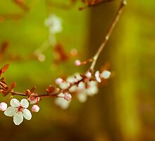 Cherry blossom by ruthjulia