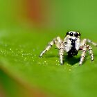 Zebra Jumping Spider by relayer51